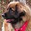 zum Leonberger Hund