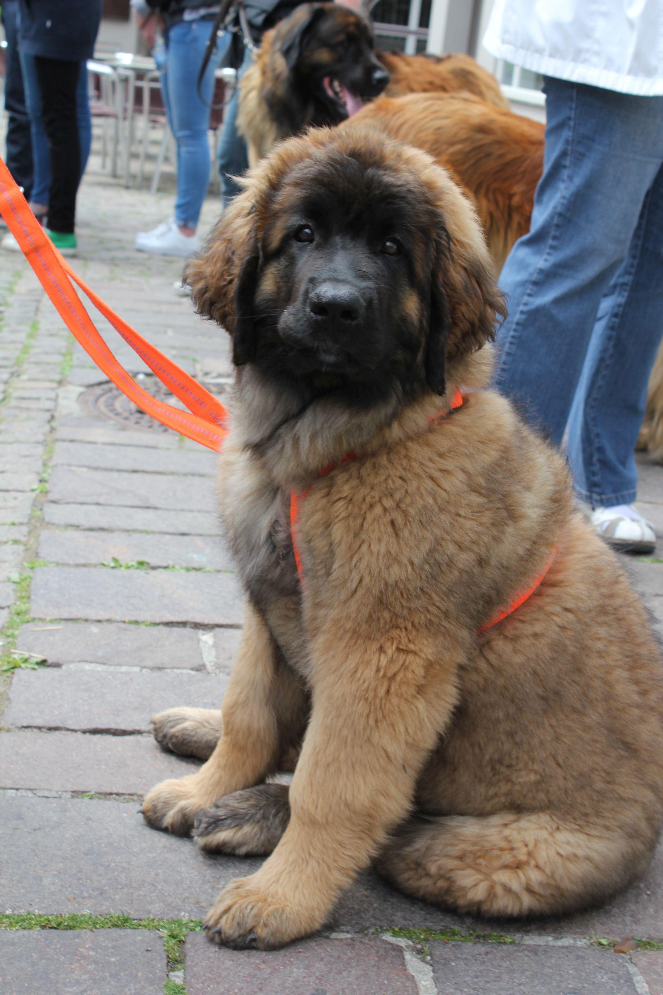 Leonberger Dog Videos